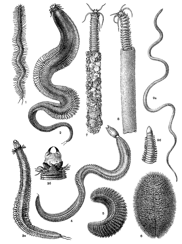 nereida-germafrodit
